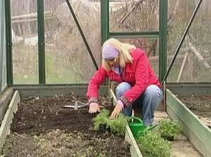 Советы садоводов как пересадить рассаду сельдерея в открытую почву
