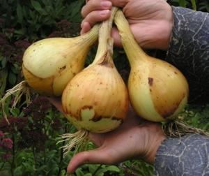Рекомендации огородников как вырастить репчатый лук из севка