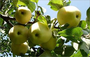 Правильная посадка яблонь.