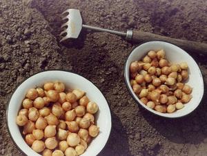 Основные требования для получения хорошего урожая лука