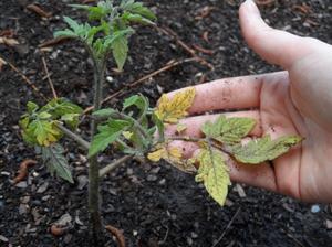 Зараженные нежные листья помидор