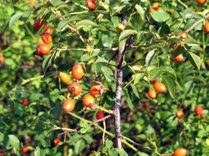 Шиповник плодовый