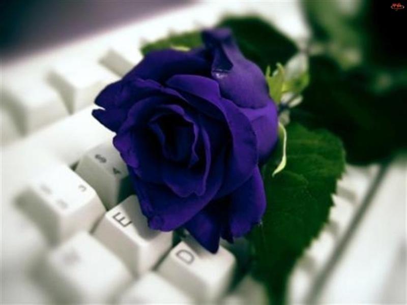 Картинки розы синие