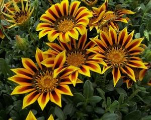 ромашки цветок фото