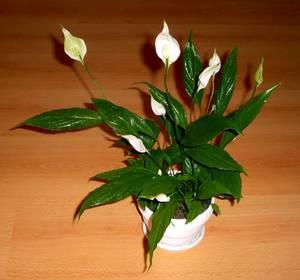 Цветок - женское счастье