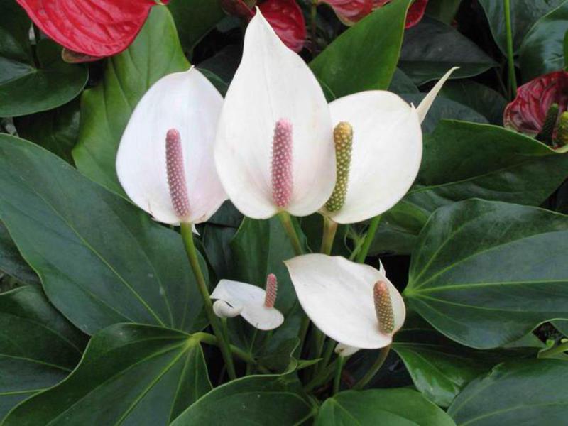 цветок женское счастье  спатифиллум