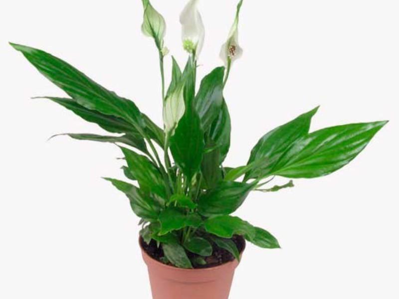 Горшочек с цветком спатифиллум