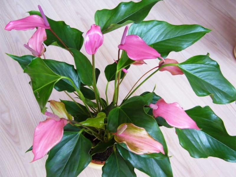 Цветок домашний цветущий листьями