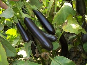 Здоровые плоды баклажан