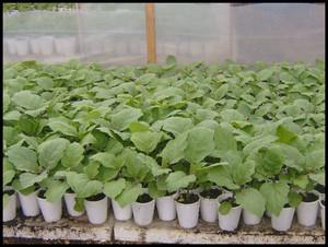 Выращиваем баклажаны сами