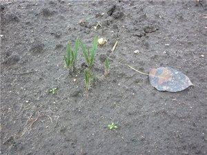Аквилегия - выращивание из семян: сбор семян, выращивание и уход за рассадой, высадка в грунт
