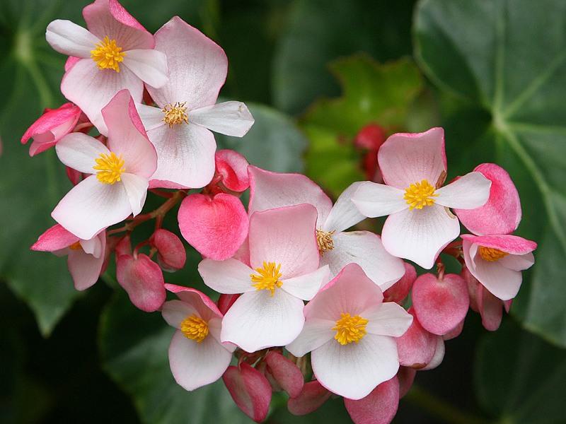 Как выглядит цветок бегония