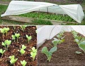 Фото капусты в огороде и теплице
