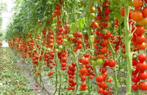 Индетерменантные томаты