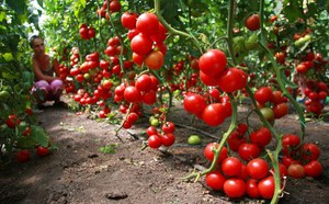 Высокорослый томат