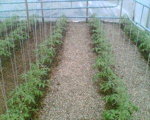 Рассада высокорослых томатов