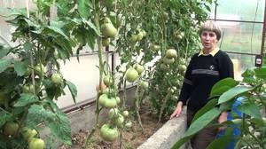 Выращивание высокорослых помидор