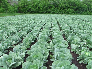 Описание правильного выращивания капусты