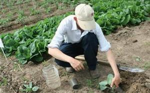 Советы как и чем лучше удобрять рассаду капусты