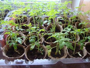 Выращиваем рассаду помидор
