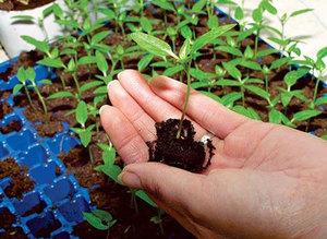 Способы рассаживания ростков баклажан