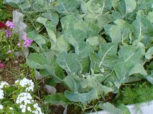 Уход за рассадой капусты