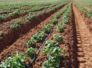 Выращивание картофеля по-новому с применением 95