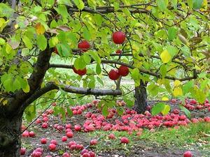 Уход за яблоневым садом