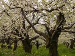 Обработка старых яблонь