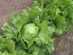 Выращиваем белокочанную капусту