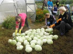 Сбор белокочанной капусты
