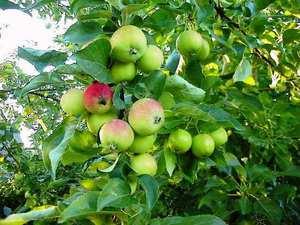 Описание процесса выращивания хороших яблонь