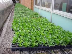 Для выращивания рассады можно использовать торфяные стаканчики, кассетные блоки или ящики из пенопласта