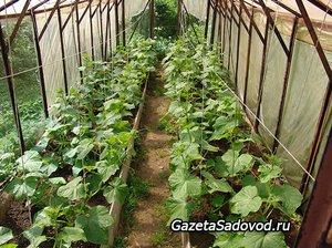 Урожай огурцов в парнике