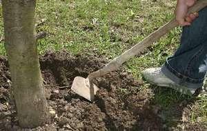 Чтобы дерево лучше плодоносило, землю вокруг ствола надо периодически перекапывать и удобрять