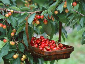 Зимнии холода, весеннии заморозки и переувлажнение почвы - основные приичны бесплодия вишни и черешни