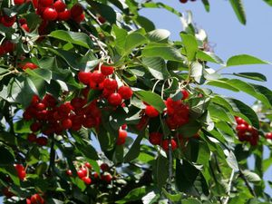 Дерево приносит плоды на 3-4 год