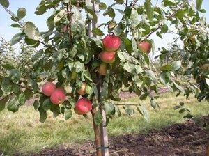 Яблоки богатырь