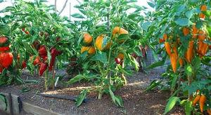 Особенности выращивания перца