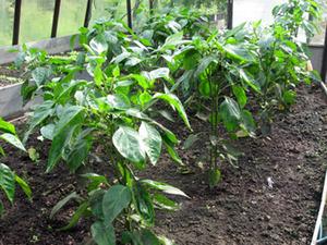 Выращиваем в теплице перец