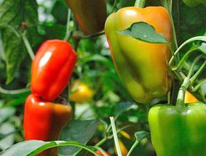 Процесс выращивания перца