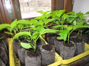 Выращиваем рассаду перца
