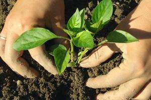 Как высадить рассаду перца в грунт