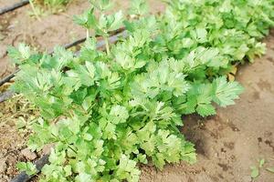 Как выращивать рассаду сельдерея