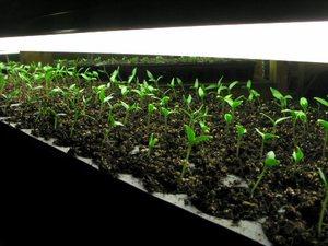 Как выращивать листовой сельдерей