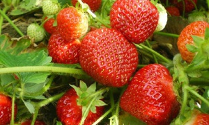 Виктория содержит огромное количество витаминов и других нужных веществ