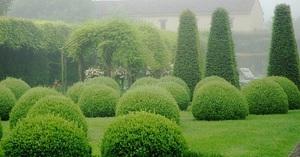 Самшит, или буксус - вечнозеленое дерево, благодаря своей густоте применяется в дизайне ландшафтов