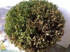 Больные листья самшита надо вовремя обрезать, дерево поливать и обрабатывать лечебными средствами