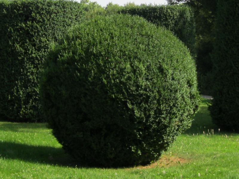 Самшит, подстриженный по форме шара