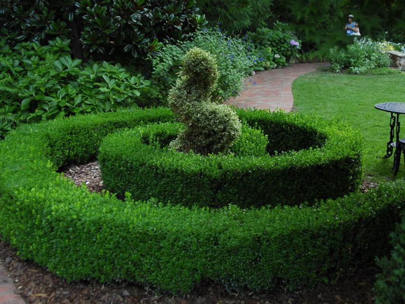 Самшит придает саду необычный вид круглый год